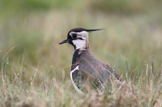lapwing / explored