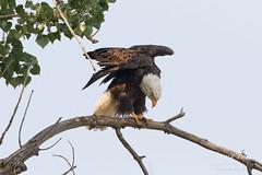 Female Bald Eagle bows while stretching
