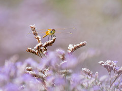 Sweet dragon (Fabien Serres) Tags: insecte libellule dragonfly odonate sympetrum fonscolombii