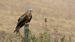 Red Kite (Distinctly Average) Tags: phillluckhurst distinctlyaverage wwwdistinctlyaveragecouk wildlife herts hertfordshire hemelhempstead nettelden road bird perched redkite canon handheld 7dmark2 100400ii