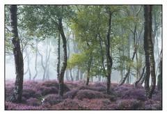 Stanton Mist 6 (shaunyoung365) Tags: heather mist trees tree landscape sonya7rii peakdistrict stanton moor