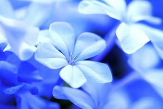 Blue-tiful Plumbago