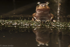 Narcissus (antonsrkn) Tags: water scaphiopus holbrookii reflection wild eastern spadefoot toad frog amphibian herp herpetology night dark moss wet portrait nature animal wildlife nc northcarolina biology ecology forest flood flooded branch sitting log