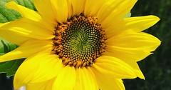 """Die Sonnenblume. Sonnenblumen locken viele Bienen an! • <a style=""""font-size:0.8em;"""" href=""""http://www.flickr.com/photos/42554185@N00/37001859332/"""" target=""""_blank"""">View on Flickr</a>"""