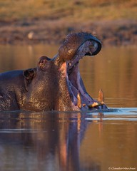 IMGP4215 Hippo coming from the water (Claudio e Lucia Images around the world) Tags: hippo ippopotamo hwange water waterhole zimbabwe camphwange yawn tooth teeth
