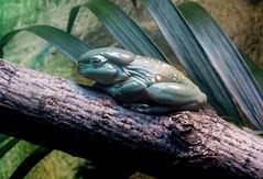 Pine Barrens Tree Frog (vmoir111) Tags: pine barrens tree frog