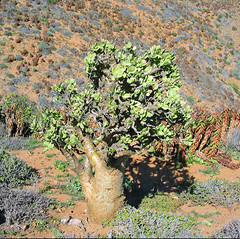tylecodon paniculatus - richtersveld, south africa 2