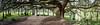 Cedrus atlantica 'Glauca Pendula' - Arboretum de la Vallée-aux-Loups - Châtenay-Malabry - Hauts-de-Seine - Île-de-France - France (vanaspati1) Tags: cedrus atlantica 'glauca pendula' arboretum de la valléeauxloups châtenaymalabry hautsdeseine îledefrance france vanaspati1 arbres tree conifères nature cèdre europe