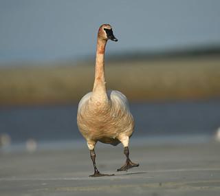 Cygne trompette- Trumpeter Swan