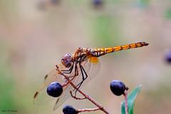 Libellule (jpto_55) Tags: odonate insecte libellule macro bokeh fuji xe1 fujifilm omlens om85mmf2 hautegaronne france