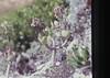 Pigs ear Crassula on cliff edge. Knysna heads Cotyledon orbiculata (Mary Gillham Archive Project) Tags: cotyledonorbiculata crassula planttree southafrica 60119