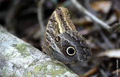 Terça-natureza (insetos) (sonia furtado) Tags: terçanatureza tercanaturezainsetos macro soniafurtado borboleta olho de coruja nanaturezainnature