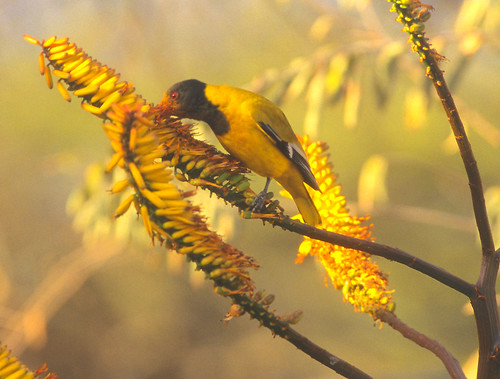 Black-headed Oriole , face covered with Pollen on Aloe inflorences 3581