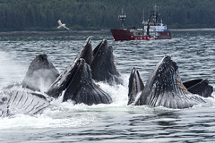 Humpback choir (Sally Harmon Photography) Tags: whale humpback whales bubblenet feeding alaska sea fishing blue water sky red boat seagull