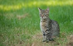 kittens (48) (Vlado Ferenčić) Tags: kitty catsdogs cats kittens animals animalplanet vladoferencic zagorje hrvatskozagorje vladimirferencic hrvatska croatia klenovnik nikond600 sigma150500563
