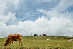 Grazing Cows Under Blue Sky, Santander Colombia (AdamCohn) Tags: kmtoin adamcohn colombia santanderdepartment blueskies cattle clouds cows geo:lat=6631069 geo:lon=73172984 geotagged grass grazing greenhill wwwadamcohncom santander