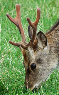 Deer Headshot