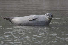 Harbour Seal (Baractus) Tags: harbour common seal john oates sea spirit poseidon expeditions alkekongen magdalena fjord spitsbergen svalbard norway habor harbor