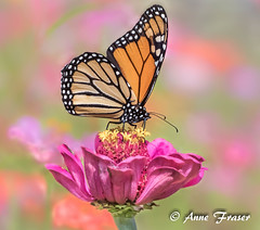 Standing tall (Anne Marie Fraser) Tags: butterfly flower macro plant garden insect monarchbutterfly beautiful pretty nature summer summertime zinnia standing wings pink