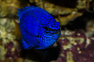 Yellow Tailed Damsel Fish