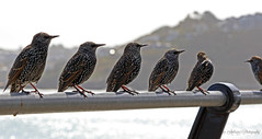 Starling family-explored 17.9.17-#143 (~ **Barbara ** ~) Tags: bird starlings avian wild wildlife seaside stives harbour fence sunshine canon7dii explored cornwall kernow uk