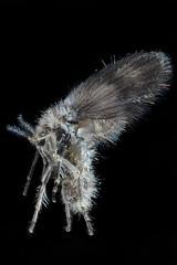Very Small Hairy Fly (brianjobson) Tags: fly hairyfly extrememacro macro micro stackshot zerene hairy