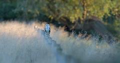 Good Morning World (KHR Images) Tags: barnowl barn owl tytoalba wild bird birdofprey morning dawn sunlight sunshine cambridgeshire fens eastanglia wildlife nature nikon d500 kevinrobson khrimages