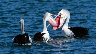 Pelicans on the bay