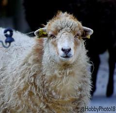 Revenons à nos moutons (hobbyphoto18) Tags: moutondouessant mouton mammifère herbivore ovisaries laine ruminant animal zoo parczoologique fortmardyck nordpasdecalais nord nature hautsdefrance france pentaxk50 pentax k50 sheep wool