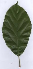 sloanea.langii.leaf (dave.kimble) Tags: sloanea sloanealangii elaeocarpaceae whitecarabeen arfp qrfp cyrfp tropicalarf lowlandarf uplandarf leaf