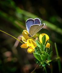 Good to the Last Drop (Portraying Life, LLC) Tags: dbg6 da3004 hd14tc k1 michigan pentax ricoh unitedstates butterfly closecrop handheld nativelighting