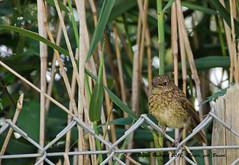 2DG_1078 (purple_girl_bristol) Tags: chewvalley rbin nikond7000 nikon18200mm wildlife bird babybird somerset