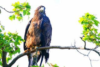 bald eagle juvenile at Decorah Fish Hatchery IA 854A6510