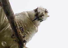 Osprey of Sandy Hook   2017 - 53 (RGL_Photography) Tags: birding birds birdsofprey birdwatching fisheagle fishhawk gardenstate gatewaynationalpark jerseyshore monmouthcounty newjersey nikonafs200500mmf56eedvr nikond610 osprey pandionhaliaetus pandionidae raptors sandyhook seahawk us unitedstates wildlife wildlifephotography