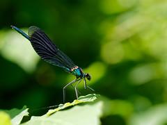 Gebänderte Prachtlibelle (Calopteryx splendens) (Carsten Weigel) Tags: insekt insect dragonfly libelle damselfly bandeddemoiselle calopteryxsplendens gebänderteprachtlibelle olympus60mmf28makro carstenweigel panasonicgx8