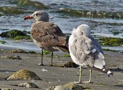 Heermann's Gull (richmondbrian) Tags: dncb 201732 pointroberts