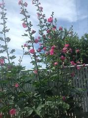 ** Les passeroses ** (Impatience_1(retour progressif)) Tags: passerose rosetrémière primerose hollyhock alcea alcearosea fleur flower impatience clôture fence saveearth supershot coth coth5 abigfave alittlebeauty fantasticnature sunrays5