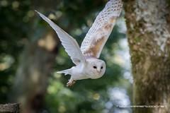 Barn Owl in flight (Darren Wood) Tags: bird birds conservancy eagle falcon falconry hampshire hawk owl prey vulture wildlife testvalleydistrict england unitedkingdom gb flying woods tree eyes