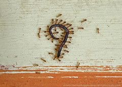 """THOUGHT-PROVOKING FRAMES :: """"LIFE, A QUESTION MARK !"""" (GOPAN G. NAIR [ GOPS Photography ]) Tags: gopsorg gopangnair gops gopsphotography photography thought povoking death grave last journey ants philosophy"""