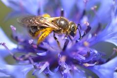 Busy Bee on Blue! (suekelly52) Tags: bee insect cornflower blue flower macro pollen