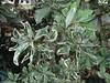 Japanese pittosporum (Pittosporum tobira): Psyllid injury to leaves (Scot Nelson) Tags: japanese pittosporum tobira psyllid injury leaves