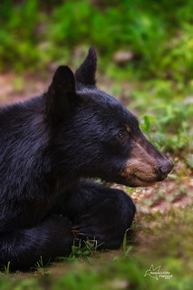 Young Black Bear Profile