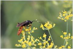 kleines Monster mit großen Hörnern (Maggi_94) Tags: fenchelblüte fenchelblüten fenchel schlupfwespe tryphon ichneumonidae