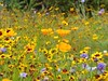 Summer meadow mix... (oh.suzannah) Tags: meadow cornflowers poppies daisies summer