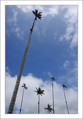 Palmiers à cire dans le ciel bleu / Vallée de Cocora - Salento - Colombie (PtiteArvine) Tags: salento quindio valléedecocora palmiersàcire beautemps ciel amériquedusud colombie
