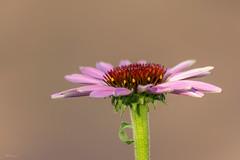 Echinacea purpurea (Mariannevanderwesten) Tags: zonnehoed macro bloem nikon nature natuur