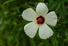 Comfort Root, Hibiscus aculeatus (stephaniepluscht) Tags: alabama 2017 graham creek nature preserve foley hibiscus aculeatus comfort root comfortroot