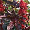 Castor Bean (eddee) Tags: minnesota park urban city nature environment plant minnehaha minneapolis longfellow garden flower castorbean red leaf