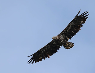 Pygargue à tête blanche (juvénile)  -  Bald Eagle