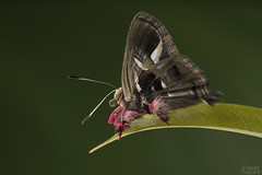 Renaldus jewelmark (Anteros renaldus) (ggallice) Tags: riodinidae metalmark butterfly mariposa insect lepidoptera fincalaspiedras allianceforasustainableamazon wwwsustainableamazonorg madrededios peru southamerica amazon rainforest jungle